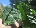 Elaeagnus latifolia leaves II, by Omar Hoftun.jpg