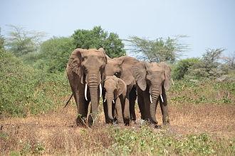 Lake Manyara National Park - African bush elephants at Lake Manyara National Park