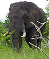 Elephant (Loxodonta africana) (13947410801).jpg