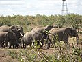 Elephant group walking together.jpg