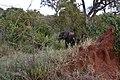 Elephant visitor at Tarangire Treetops (5) (28645672576).jpg