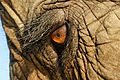 Elephas Maximus Eye Closeup.jpg