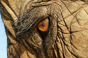 The eye of an asian elephant at Elephant Natur...