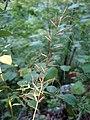 Elymus svensonii.jpg
