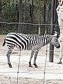 Em - Equus quagga - 7.jpg