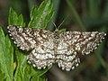 Ematurga atomaria - Common heath - Пяденица вересковая (40882883172).jpg