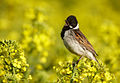 Emberiza schoeniclus vogelartinfo chris romeiks CHR1785.jpg