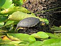 Emys orbicularis-European pond turtle.jpg