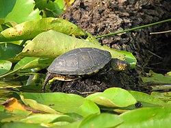 Emys orbicularis-European pond turtle.jpg