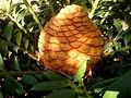 Encephalartos ferox 3c.JPG