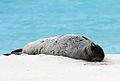 Endangered Hawaiian monk seal sunning on the beach (6741931081).jpg