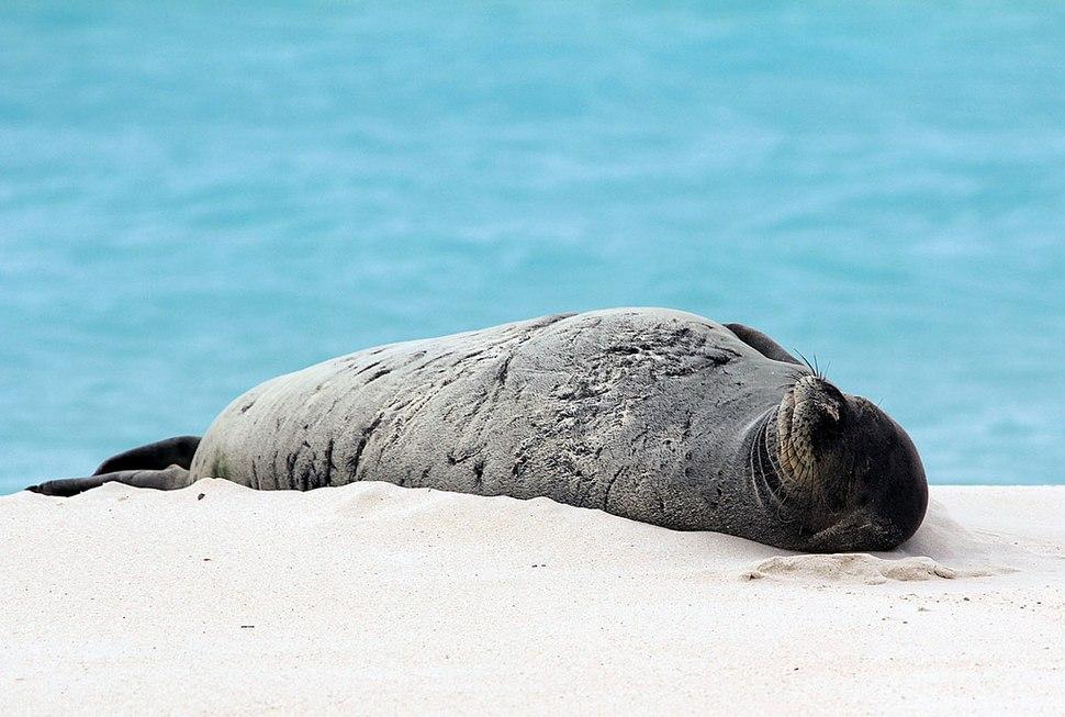 Endangered Hawaiian monk seal sunning on the beach (6741931081)