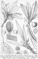 Engler Colocasia.png
