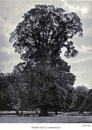 Ulmus minor 'Atinia' - Image: English Elm at Powderham