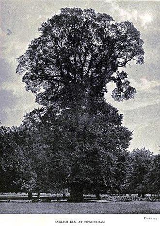 Ulmus minor 'Atinia' - Image: English Elm at Powderham