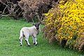 English lamb (26269493845).jpg