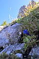 Enzian im Berchtesgadener Land.jpg