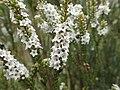 Epacris rhombifolia flowers.jpg