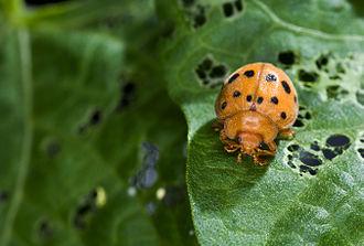 Epilachninae - Epilachna varivestis, the Mexican bean beetle