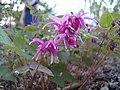 Epimedium flowers cv4 -002.JPG