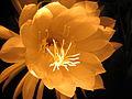 Epiphyllum-oxypetallum-front-incandescent-light.JPG