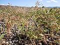 Eragrostis minor (6124340558).jpg