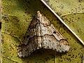 Erannis defoliaria ♂ - Mottled umber (male) - Пяденица-обдирало (самец) (46530921112).jpg