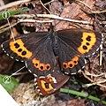 Erebia ligea takanonis (mating) with note.jpg