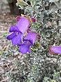 Eremophila rotundifolia flowers.jpg