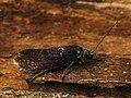 Eriocrania semipurpurella (41617795041).jpg