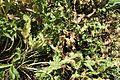 Eryngium spina-alba kz1.jpg