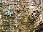Erythrina sandwicensis (5210042446).jpg