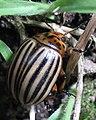 Escaravello da pataca, Bastavales, Brión, Galiza 090707 09.JPG