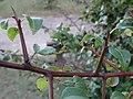 Espiñas Pyrus cordata, pereira brava, Xardín botánico de Culleredo 3.jpg