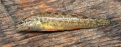 Etheostoma grahami.jpg