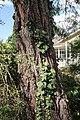 Eucalyptus sideroxylon (23363424474).jpg