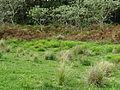 Euphorbia helioscopia habit2 (15178333690).jpg