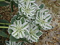 Euphorbia marginata (9899136023).jpg