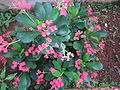 Euphorbia milii - യൂഫോർബിയ 05.JPG