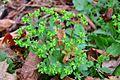 Euphorbia peplus (8345442913).jpg