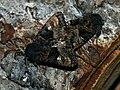 Euplexia lucipara (in copula) - Small angle shades (mating) - Совка малинная (спаривание) (41078487332).jpg