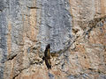 Eurasian Griffon (Gyps fulvus) (14374615963).jpg
