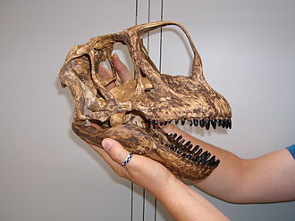 Insular dwarfism - Image: Europasaurus skull