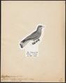 Eurystomus glaucurus - 1809-1845 - Print - Iconographia Zoologica - Special Collections University of Amsterdam - UBA01 IZ16700253.tif