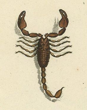 Euscorpius germanus.jpg