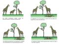 Evolución jirafa español.png