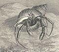 FMIB 34624 Bernard-l'Ermite (Eupagurus bernhardus, linne), dans une coquille de Buccin Onde.jpeg