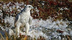 Falco-rusticolus.jpg