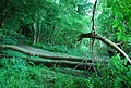 Fallen trees across the footpath, Hubbard's Hill - geograph.org.uk - 1381305.jpg