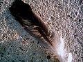 Feather (262688864).jpg